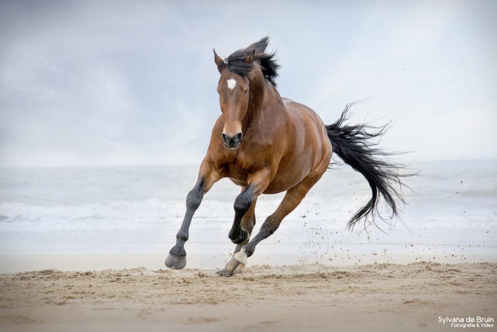 Sylvana de bruin fotografie en video paard op strand