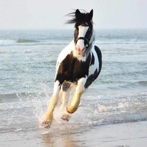 sylvana-de-bruin-dieren-fotografie-en-video-paarden-honden-katten (17)