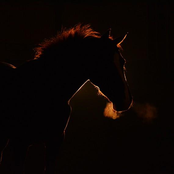 sylvana de bruin dieren fotografie en video paarden honden (31)