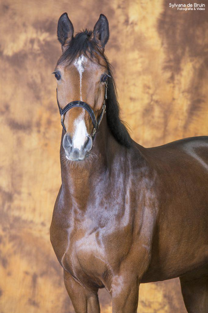 Paardenfotografie bruin achtergronddoek (1)