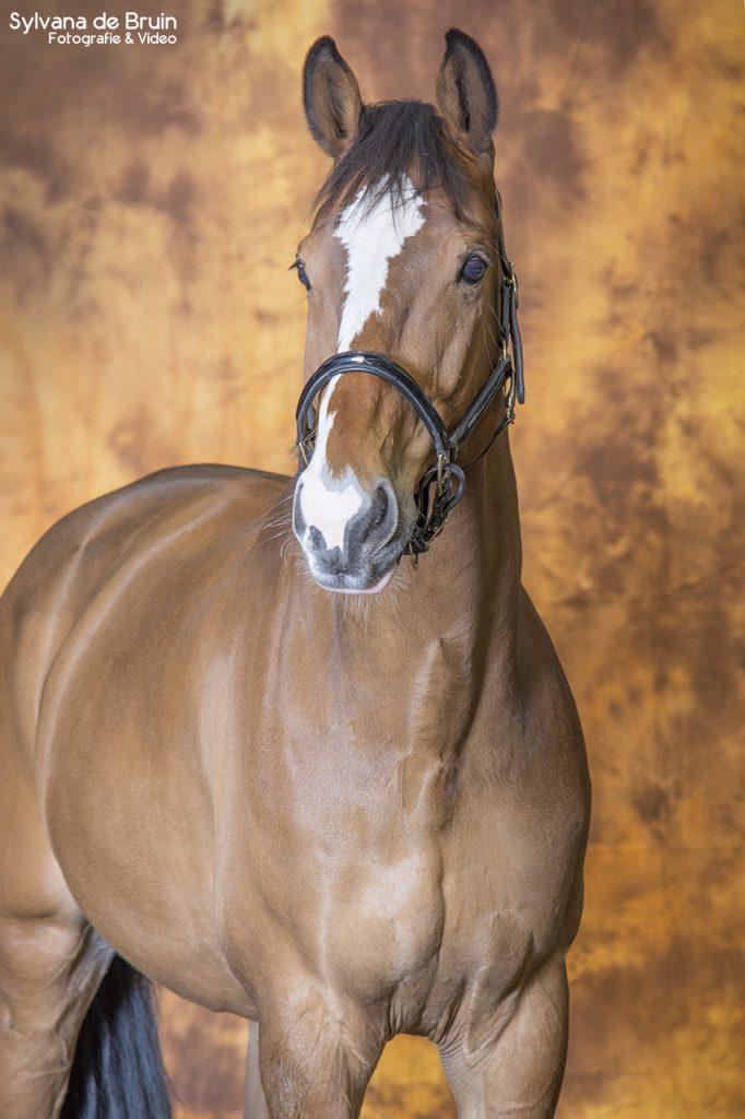 Paardenfotografie bruin achtergronddoek (3)